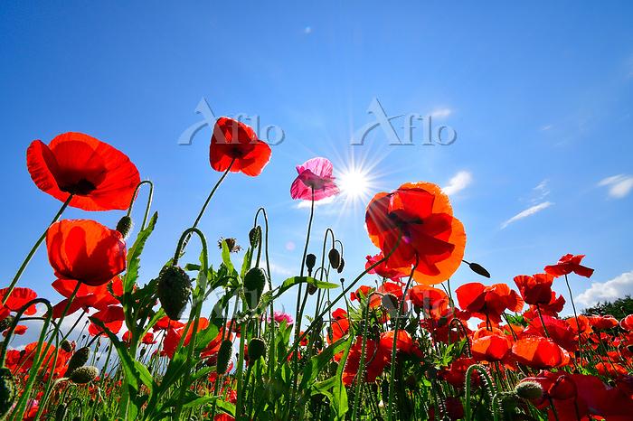 青空と逆光の太陽とポピーの花畑