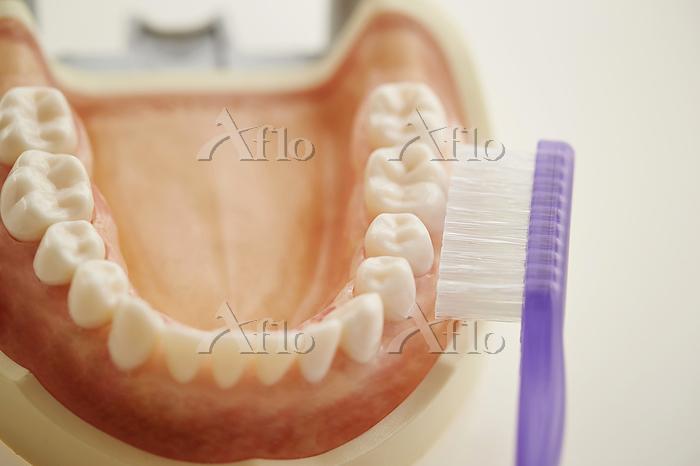 歯列模型と歯ブラシ