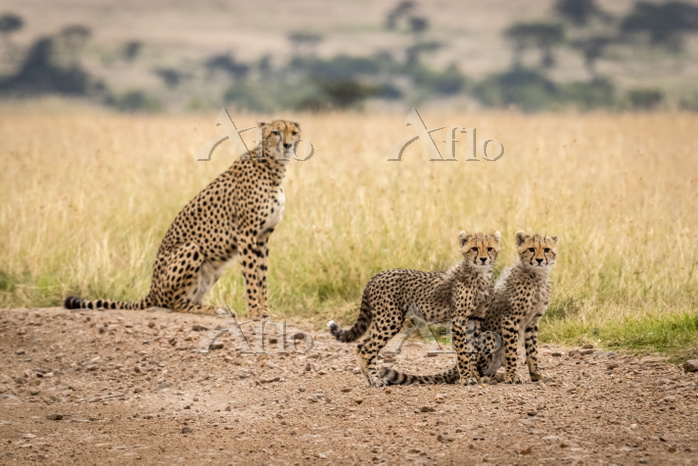 Two cubs on dirt track by chee・・・