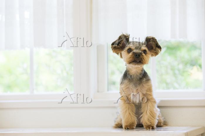 窓辺に座るヨークシャテリア 犬