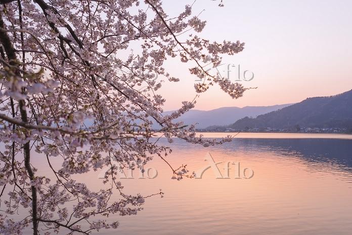 滋賀県 琵琶湖 海津大崎の桜 夕景
