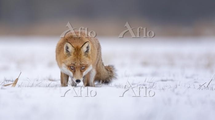 Red fox (Vulpes vulpes), in wi・・・