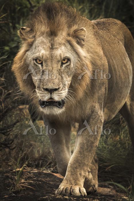 Lion (Panthera leo) walking st・・・
