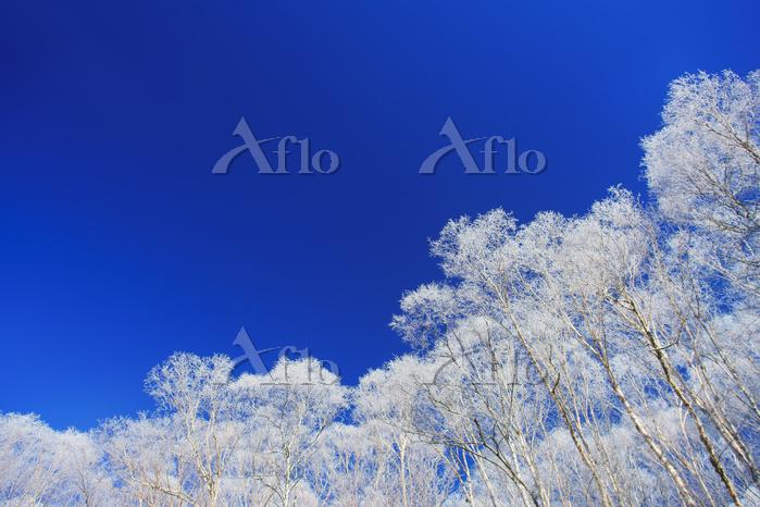 長野県 美ヶ原 厳冬の霧氷の樹林と青空