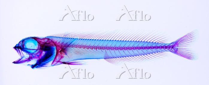 シイラ 透明骨格標本