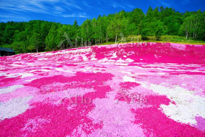 北海道 倶知安町の芝桜