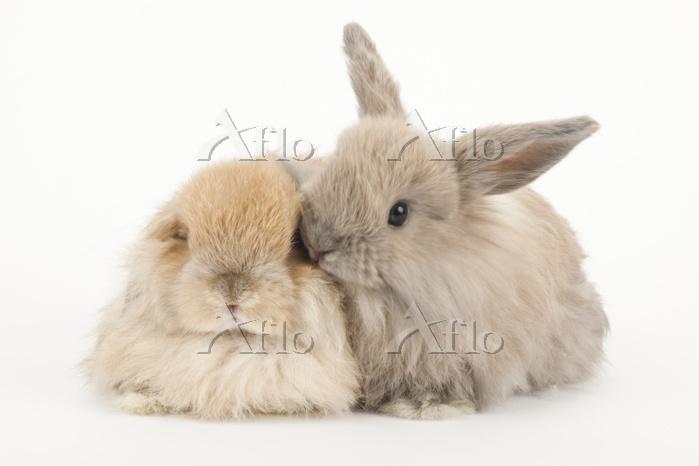 2羽のウサギ