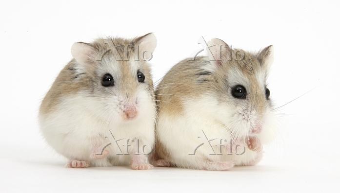 2匹のロボロフスキーキヌゲネズミ