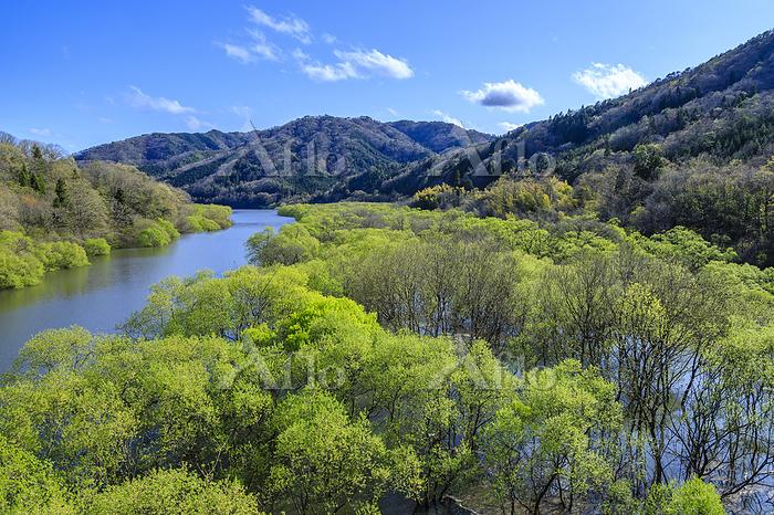 広島県 ヤナギの水没林