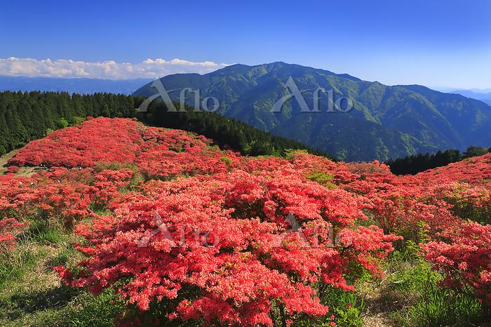 奈良県 葛城山自然つつじ園と青空