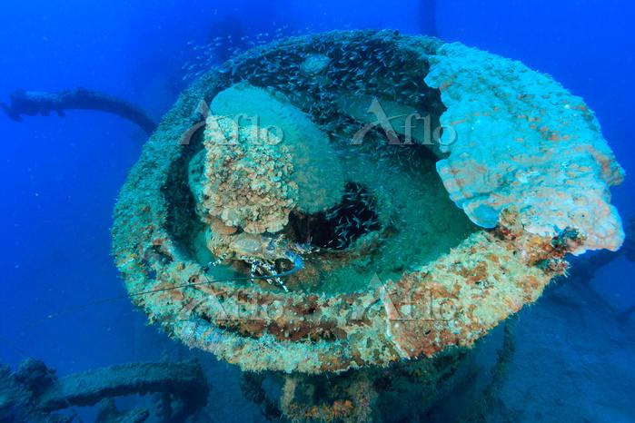 沈船に住む ニシキエビ