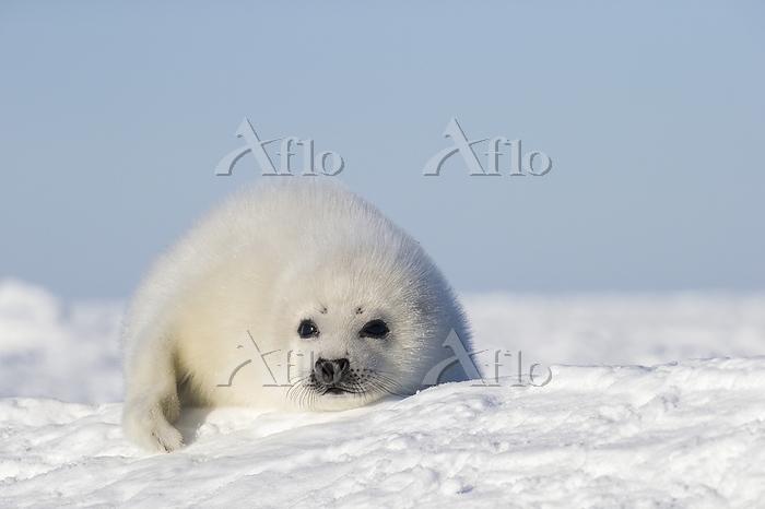 Harp seal (Pagophilus groenlan・・・