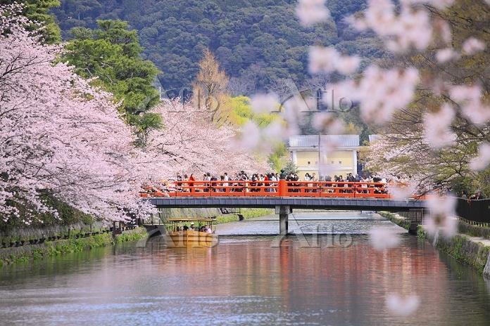 京都府 桜咲く岡崎疎水を遊覧する十石舟と慶流橋