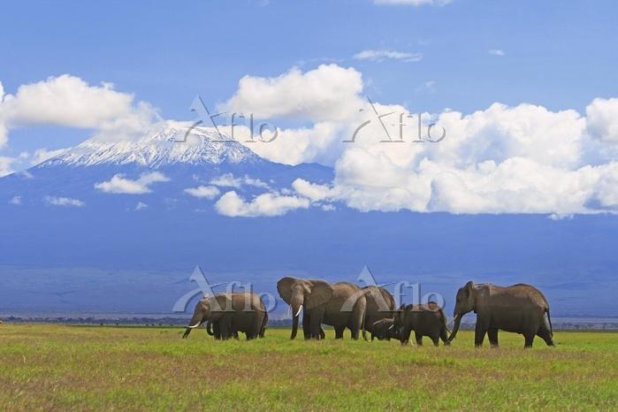African elephants (Loxodonta a・・・