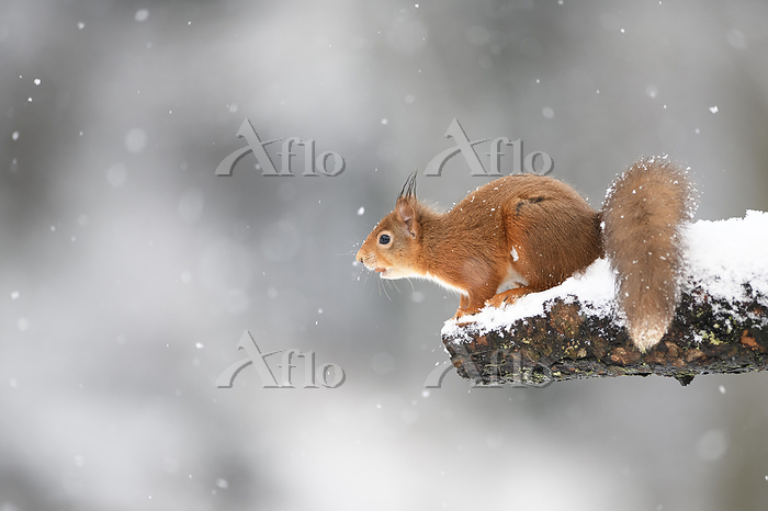 Eurasian red squirrel on snow-・・・