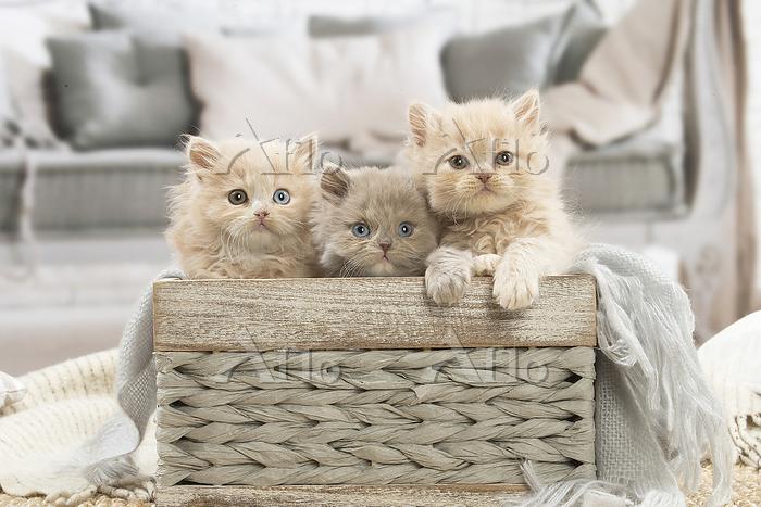 British longhair kittens indoo・・・