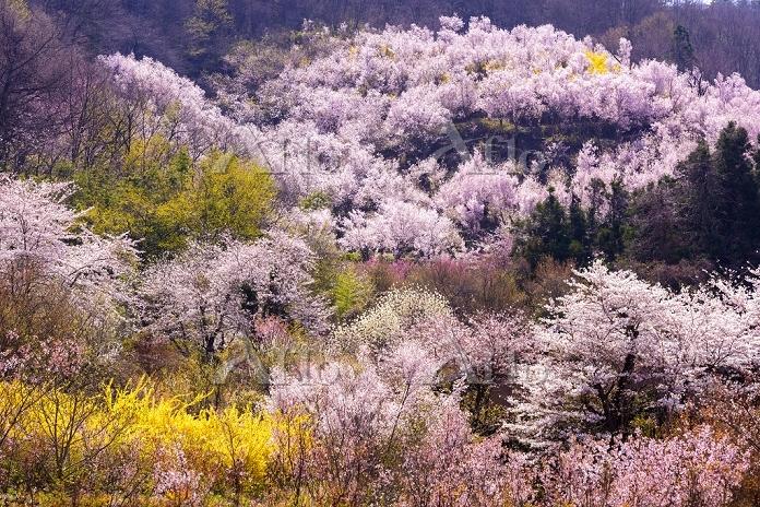 福島県 福島市 花見山 レンギョウ・ハナモモ・ハナモクレン・・・・