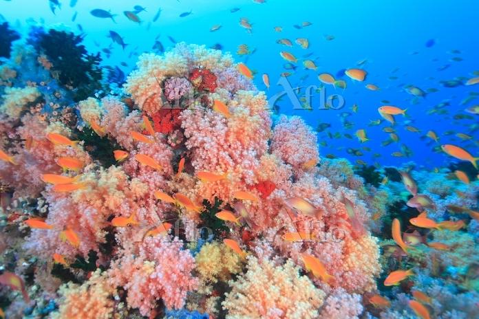 モルディブ ソフトコーラルのサンゴ礁