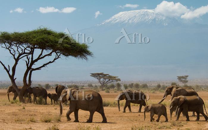 ケニア キリマンジャロ 象