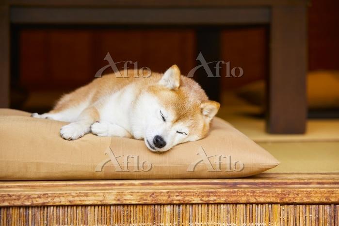 座布団の上で眠る豆柴犬