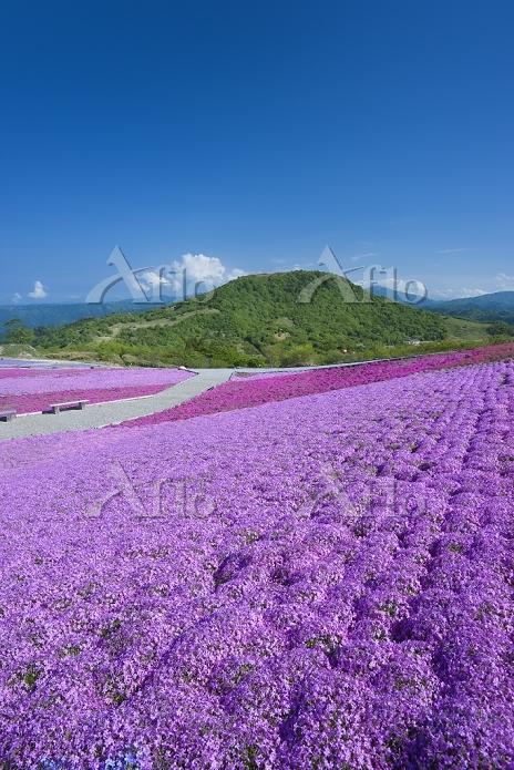 茶臼山高原の芝桜の丘 愛知県 豊根村