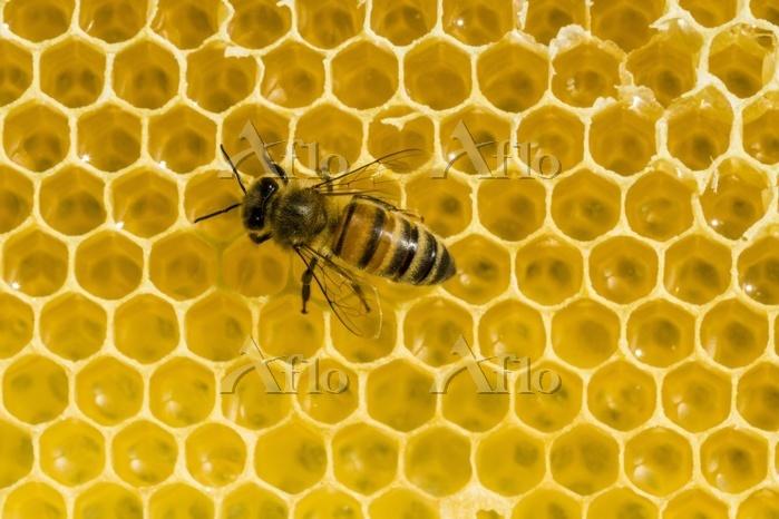 A Carniolan honey bee (Apis me・・・