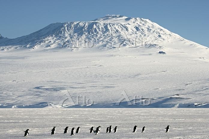 南極大陸 ロス島 アデリーペンギン
