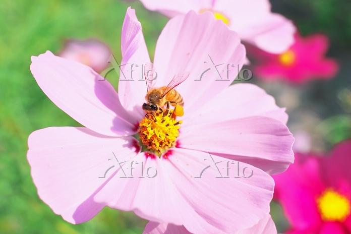 埼玉県 コスモスの花とミツバチ