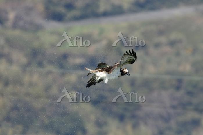 ミサゴ 川に飛び込んだ後、羽に付いた水を体を震わせ落とす