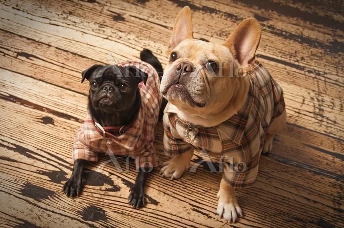 2匹のフレンチ・ブルドッグ 犬