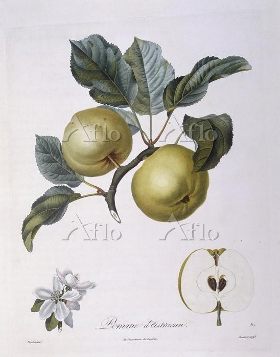 "Botany - Rosaceae - Apple ""Pom・・・"