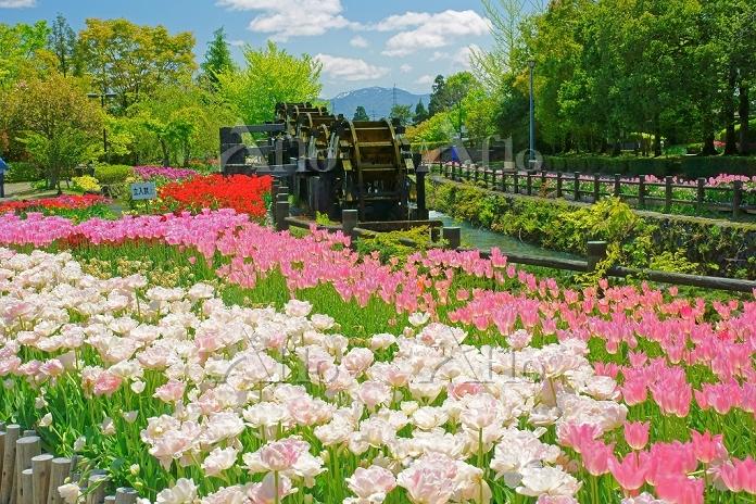 富山県 チューリップ公園と5連水車