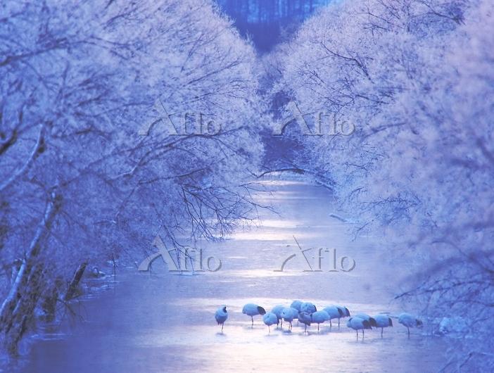 北海道 鶴居村 久著呂川 霧氷の川のねぐら