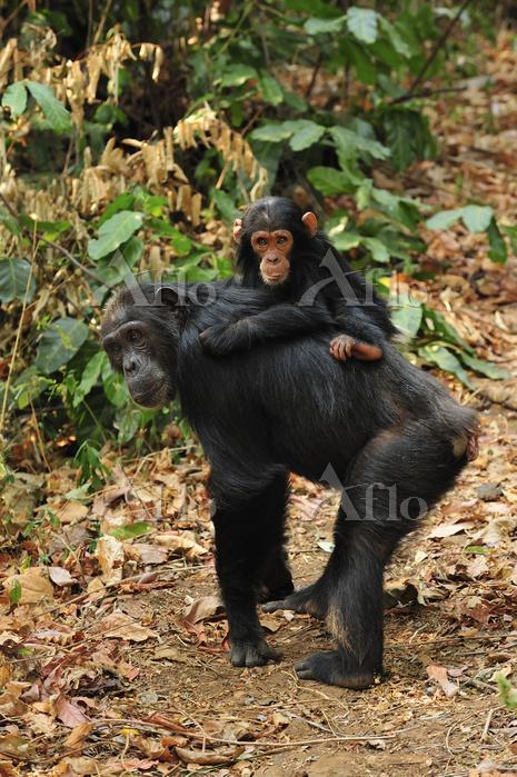 ケナガチンパンジー