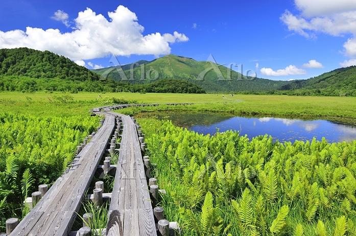 群馬県 尾瀬 上田代の木道から望むヤマドリゼンマイと池塘と至・・・