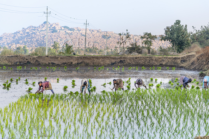 Indian women field workers wor・・・