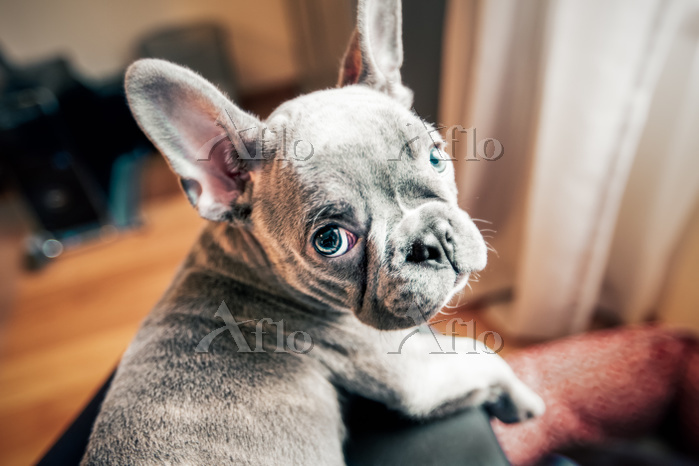 French bulldog puppy looking b・・・