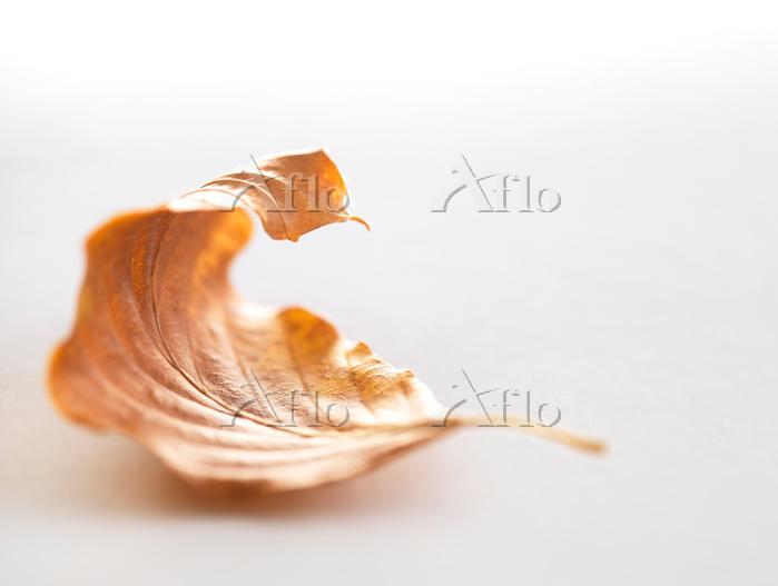 Autumn birch tree leaf