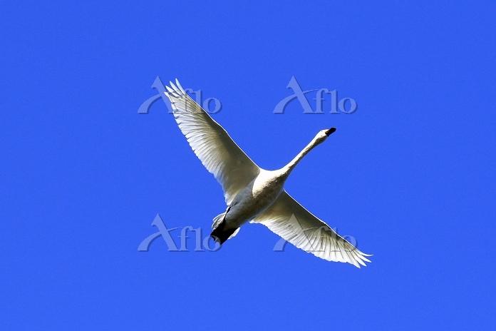 新潟県 白鳥 コハクチョウ 飛翔