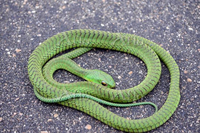 蛇 Road kill -- dead boomslang ・・・