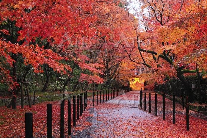 京都府 光明寺 敷き紅葉の参道と朝日を受ける薬医門