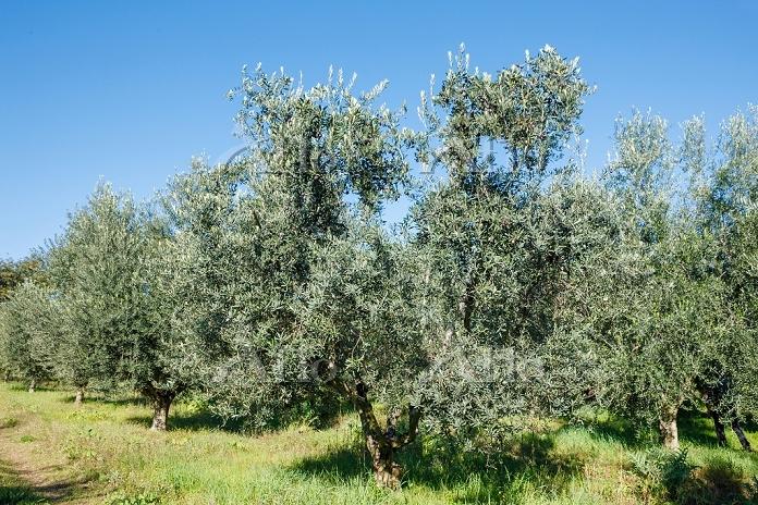 イタリア マルケ州 オリーブの木
