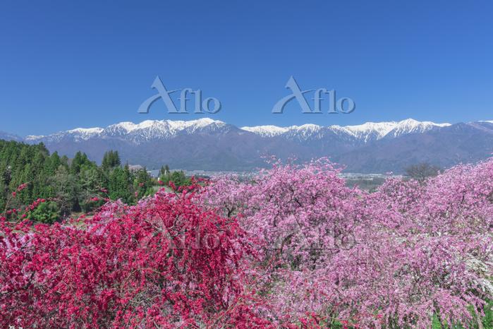 長野県 ハナモモ咲く春の中央アルプス