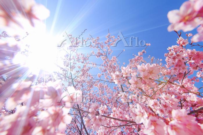 長野県 上田市 桜(サツマベニ)と木漏れ日