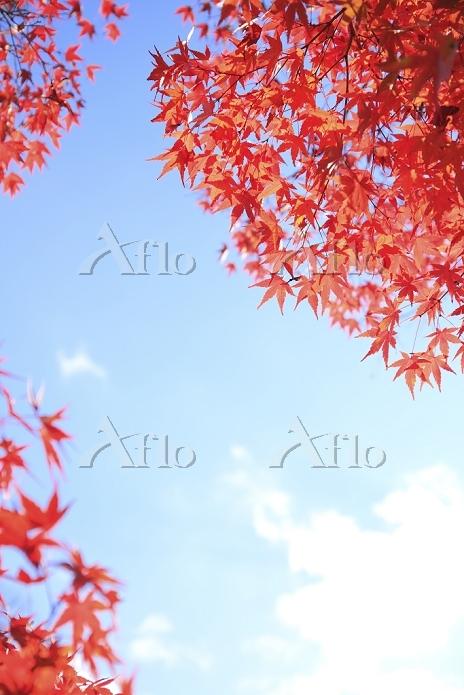 楓の紅葉と青空