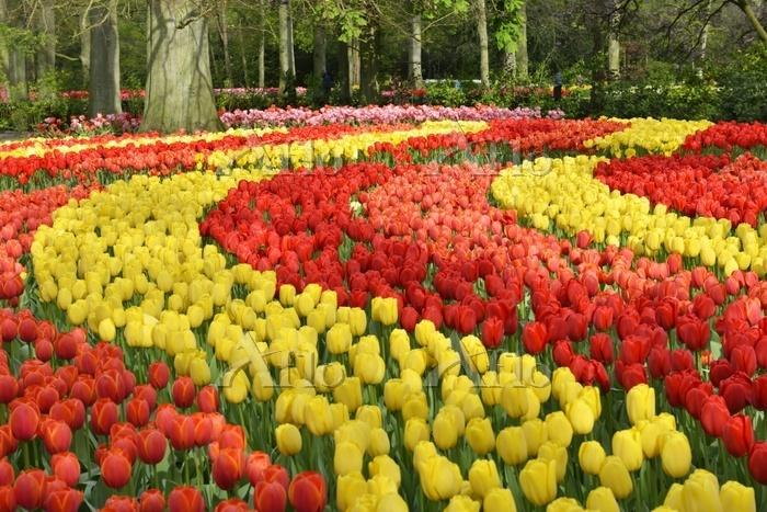 Tulips (Tulipa hybrids) at Keu・・・