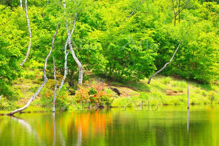 長野県 初夏の乗鞍高原まいめの池