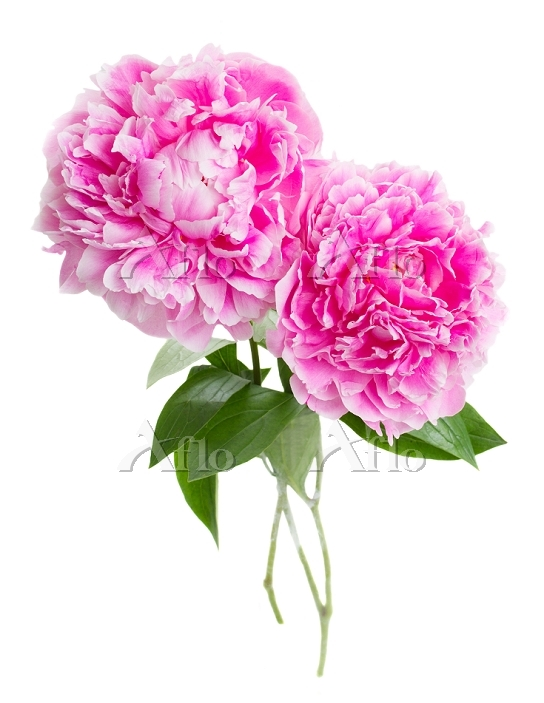 pink peonies . two pink peony ・・・