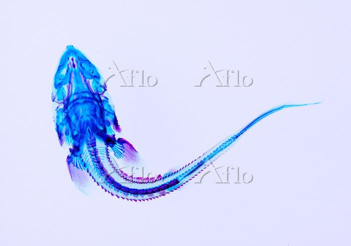 チョウザメ (ベステル) 透明骨格標本