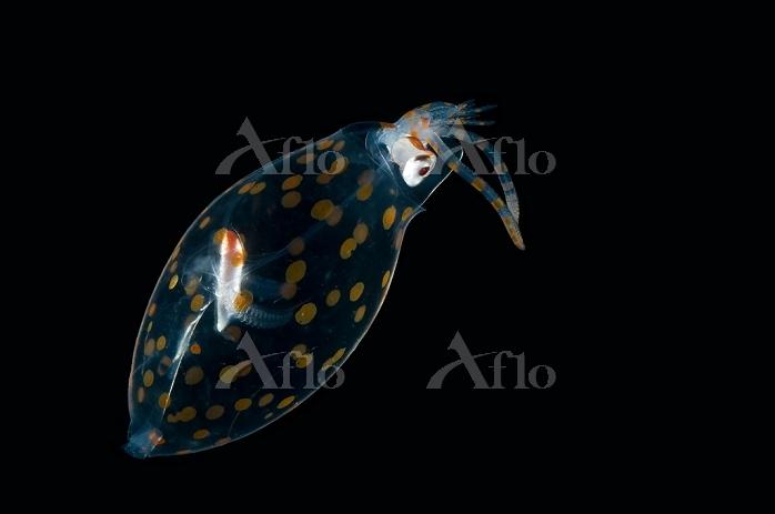 深海生物 イカ